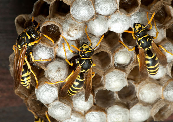 paper-wasp-4