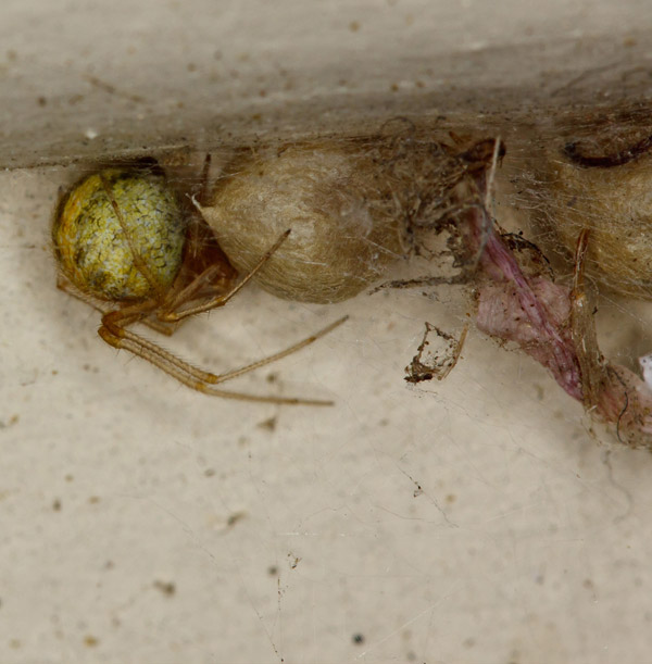 common house spider egg sac
